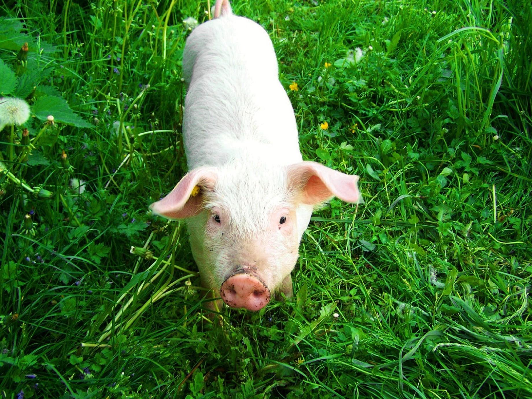 誰說養豬就不能高市值了?互聯網+畜牧萬億的市場規模已足夠讓人眼紅了